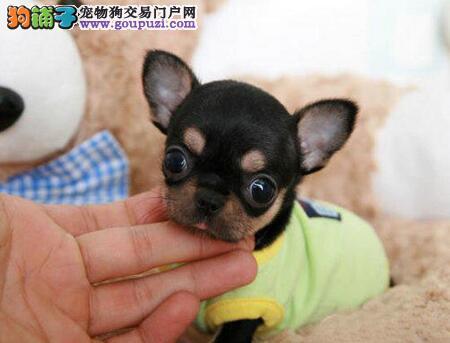 超小体颜色齐全的烟台吉娃娃幼犬找新家 疫苗驱虫已做