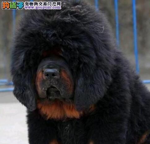 巫溪实体狗场出售霸气十足的藏獒 可视频看狗选购幼犬