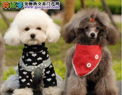 自家繁殖的纯种贵宾犬找主人终身售后协议
