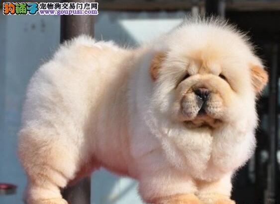 上海基地专业缔造优质松狮犬求好心人士上门选购
