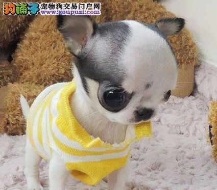 百分百健康纯种吉娃娃热卖中微信咨询看狗狗照片