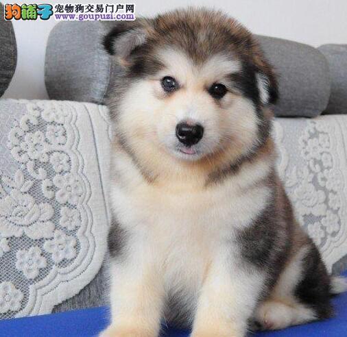 热卖阿拉斯加犬宝宝 纯度第一品质第一 寻找它的主人