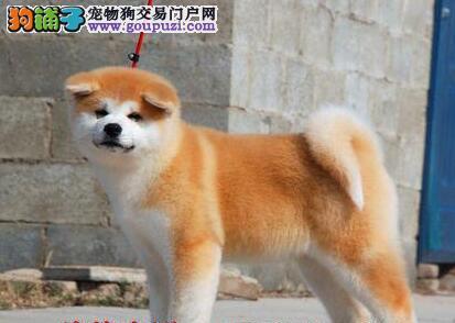 南宁自家的日系秋田犬低价转手 只求好心人士收留