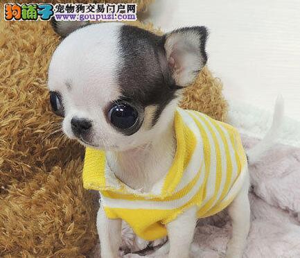 苹果头金鱼眼吉娃娃幼犬找新家 石家庄市内免费送货