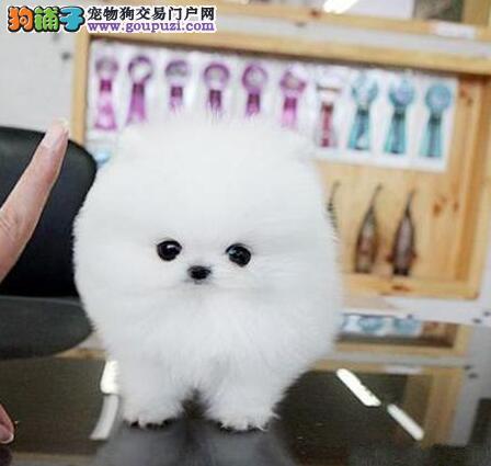 哈多利版球型的石家庄博美犬找新家 售后有保障协议
