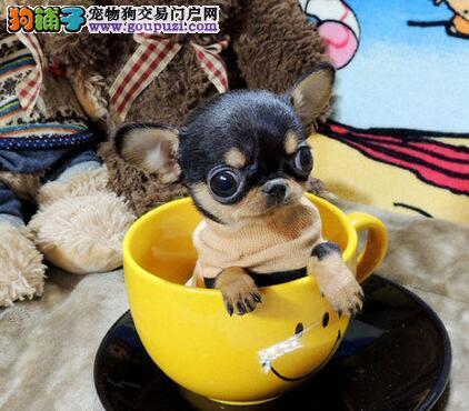 广州买狗买吉娃娃犬到名豪犬业 广州哪里有吉娃娃犬买