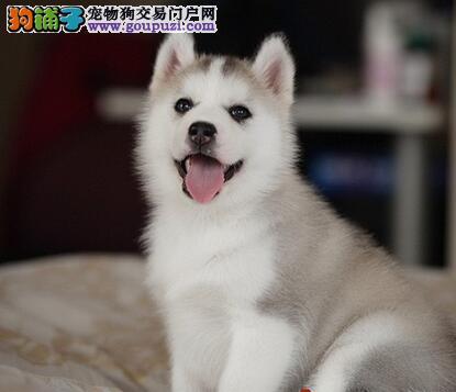 出售纯种健康的哈士奇幼犬均有三证保障