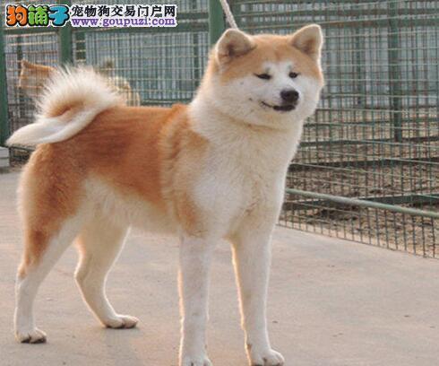成都哪里有卖纯种健康秋田犬 成都出售秋田多少钱呢