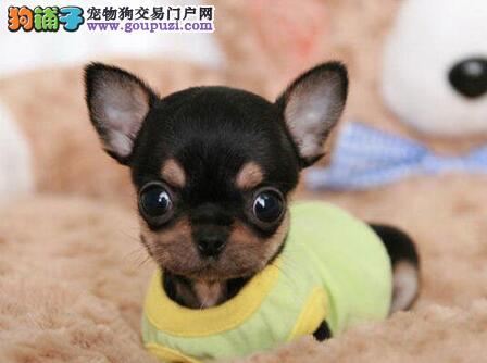 吉娃娃幼犬出售中,纯度好100%健康,讲诚信信誉好