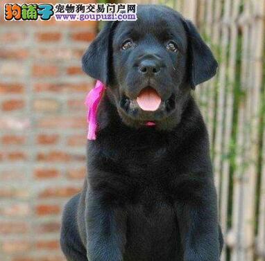 唐山实体狗场低价出售品相极佳的拉布拉多犬 放心选购