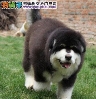 阿拉斯加犬性格忠实活泼充满活力忍耐力强欢迎选购