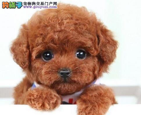 正规狗场出售好品相的珠海泰迪犬可见狗狗父母