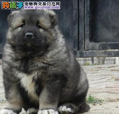CKU认证正规养殖场出售高品质 高加索幼犬可签质保