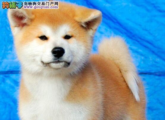热销多只优秀的纯种秋田犬保障品质一流专业售后