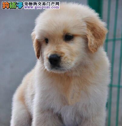 新余市纯种黄金猎犬幼犬出售健康签协议售后指导美容