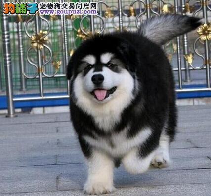 专业正规犬舍热卖优秀天津阿拉斯加犬保障品质售后
