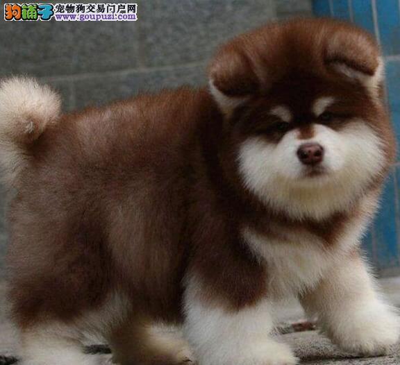 天津实体店低价促销赛级阿拉斯加犬幼犬期待您的光临