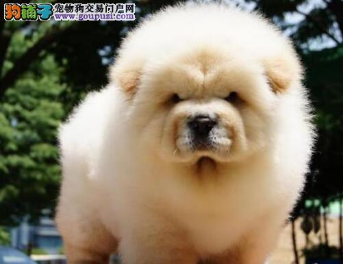广州松狮犬价格 广州哪里有卖松狮犬 广州宠物狗