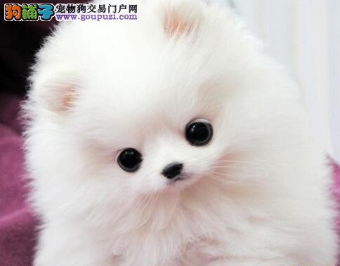 郑州养殖场直销完美品相的博美犬专业品质一流