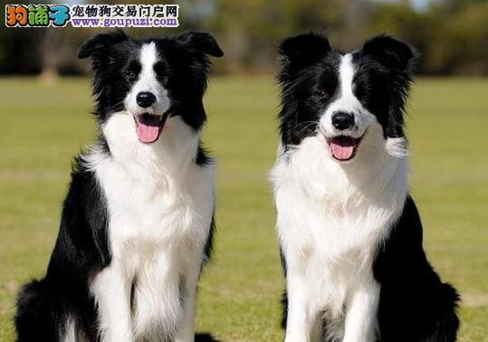 家养极品深圳边境牧羊犬转让驱虫疫苗已做