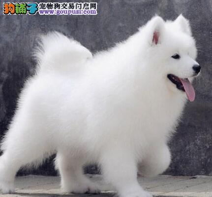 上海狗场促销顶级品质萨摩耶保证血统健康