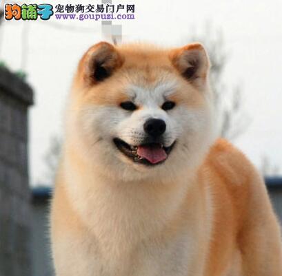 秋田犬 不以价格惊天下 但以品质惊世人质保协议疫苗驱虫齐全
