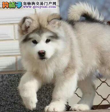 自家繁殖的纯种阿拉斯加犬找主人同城免费送货上门