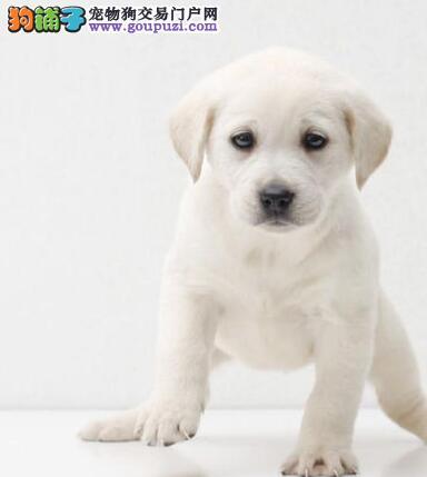 出售拉布拉多幼犬 赛级血统 品相纯正 确保健康