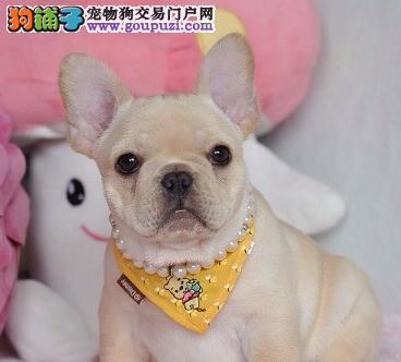 CKU犬舍认证出售高品质法国斗牛犬看父母照片喜欢加微信