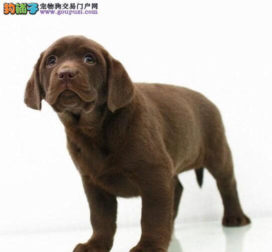犬舍直销品种纯正健康北京拉布拉多质保三年支持送货上门