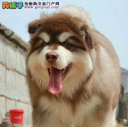 繁育基地促销成都阿拉斯加雪橇犬驱虫已做完