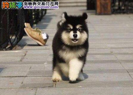 转让出售极品双十字南京阿拉斯加雪橇犬 质量有三包