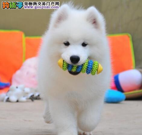赛级品相萨摩耶幼犬低价出售保证品质完美售后