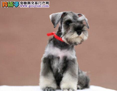 权威机构认证犬舍 专业培育雪纳瑞幼犬保证品质完美售后