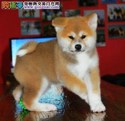 出售高端秋田犬,保证品质一流,签订终身合同