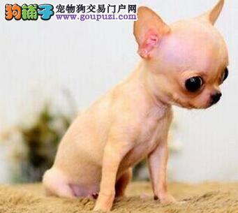 上海大型犬舍直销好品相吉娃娃金鱼眼苹果头