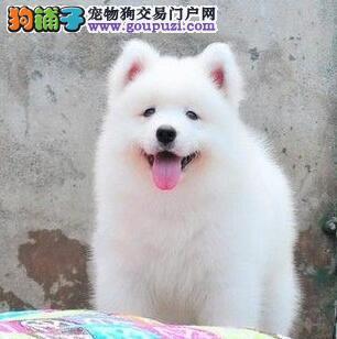 杭州专业狗场热卖极品萨摩耶公母都有质量保证