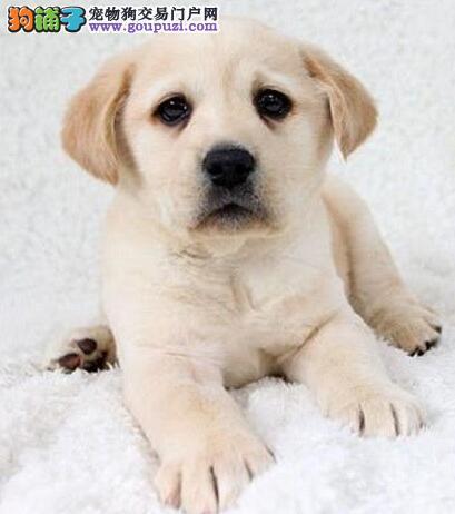 出售多只大骨架的广州拉布拉多犬 签订正规购犬协议书
