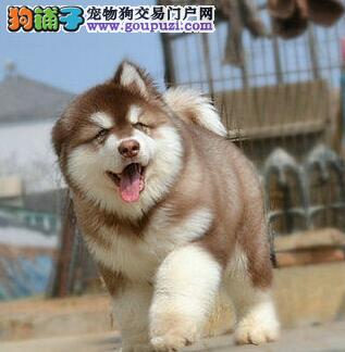 犬舍直销品质好的哈尔滨阿拉斯加雪橇犬驱虫已做