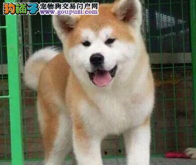 纯种日本秋田犬出售。重庆哪里买秋田幼犬。纯种健康