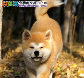 珠海大型专业繁殖基纯种日系秋田犬 可签协议全国包邮