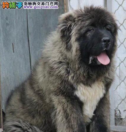 吐鲁番狗舍多只高加索犬促销中证书齐全品质保证