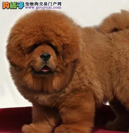 直销北京藏獒自家犬舍繁殖保证纯种
