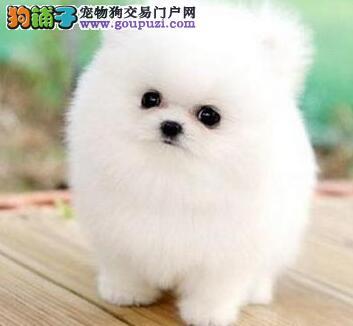 哈多利纯血系的博美犬找新主人 青岛的朋友上门选购吧