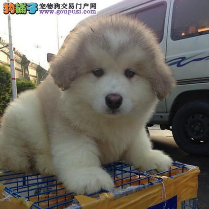 重庆CKU认证犬舍出售高品质阿拉斯加犬质量三包多窝可选