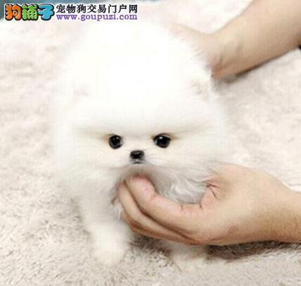 高端博美犬幼犬、真实照片保纯保质、签订活体协议