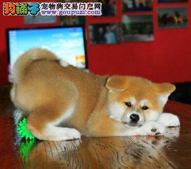 淄博养殖基地直销日系血统的秋田犬 狗贩子请绕行