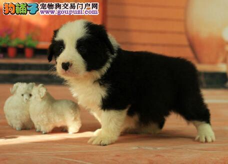 珠海七白到位纯种边境牧羊犬特价出售 质量三包