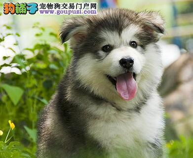 直销双十字阿拉斯加雪橇犬 贵阳地区建议上门挑选购买