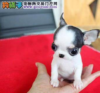 吉娃娃最大的正规犬舍完美售后购犬可签协议